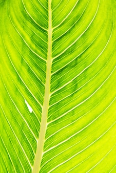 Grüne blatttextur. skelettblatt und sonnenlichttapete.