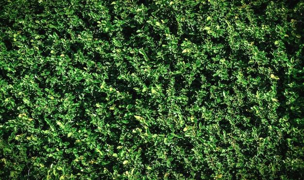 Grüne blattwand für hintergrund