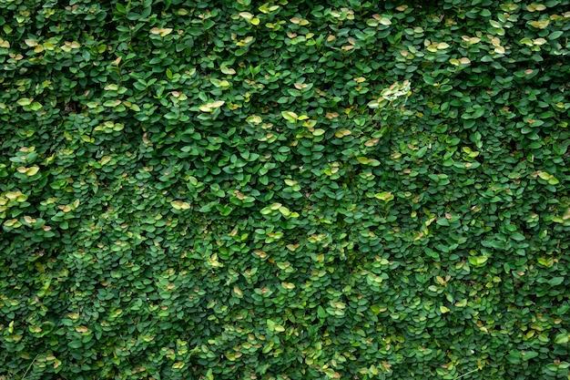 Grüne blattwand textur hintergrund. wein an der wand.