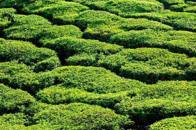 Grüne blaugrüne plantagen schließen