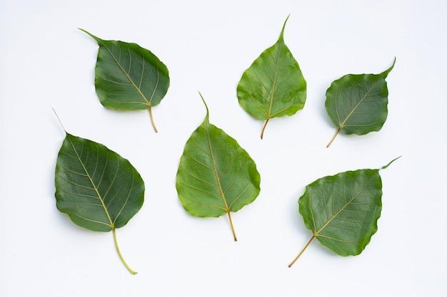 Grüne bodhi-blätter auf weiß