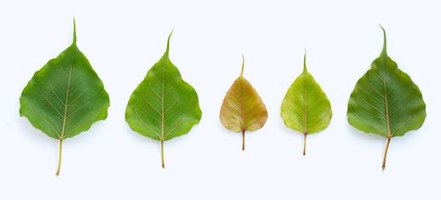 Grüne bodhi-blätter auf weißer oberfläche