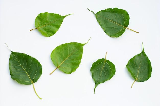 Grüne bodhi-blätter.
