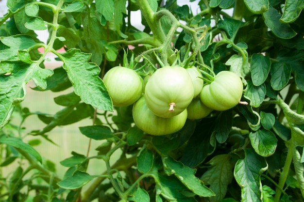 Grüne büsche von tomaten mit fruchtnahaufnahme