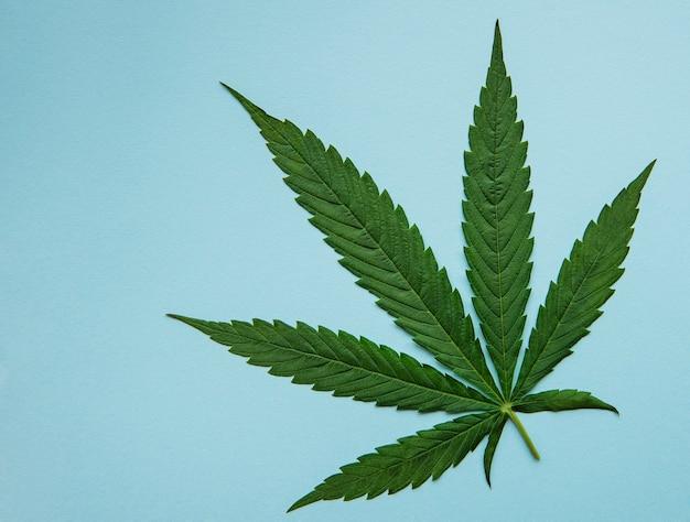 Grüne cannabisblätter auf blauem hintergrund wachsendes medizinisches marihuana