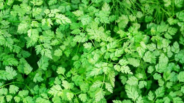 Grüne chervil-anlage in einem gemüsegarten.