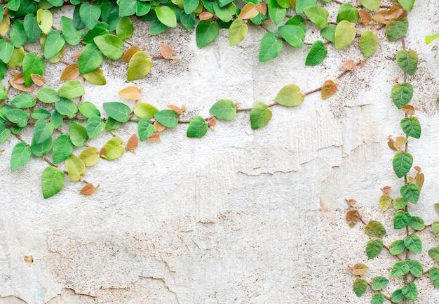 Grüne creeper-pflanze auf weißer wand