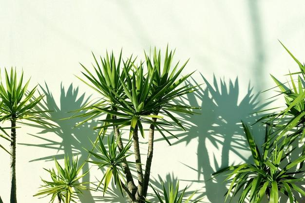 Grüne dracaena-blätter und blattschatten gegen eine weißgrüne wand. heller vertreter der familie drazenov.