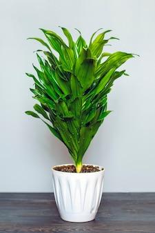 Grüne duftende dracaena-pflanze lokalisiert auf weißem hintergrund auf holztisch