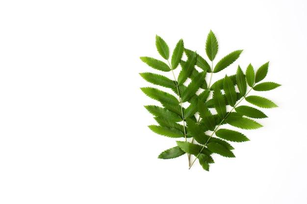 Grüne ebereschenblätter lokalisiert auf weiß