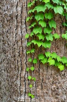 Grüne efeublätter auf baumstamm schließen oben