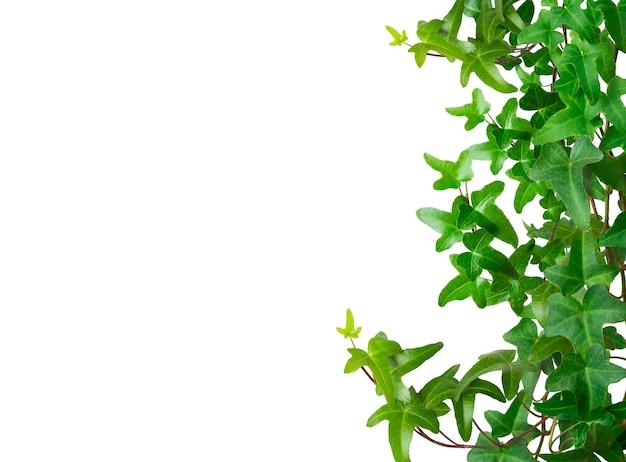 Grüne efeugrenze lokalisiert auf weißem hintergrund. platz für text.