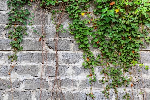Grüne efeupflanze klettern auf alten weißen backsteinmauerhintergrund.