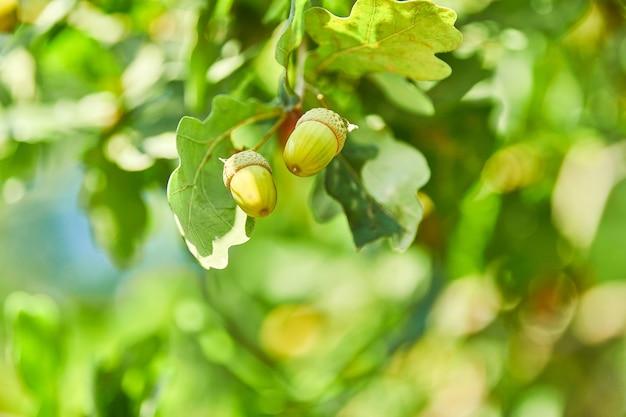 Grüne eicheln auf frühen grünen samen des eichenzweigs