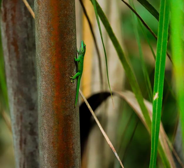 Grüne eidechse madagaskar auf einem baumstamm