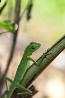 Grüne eidechse mit haube - bronchocela cristatella. wildes tier vom mulu nationalpark in malaysia, borneo