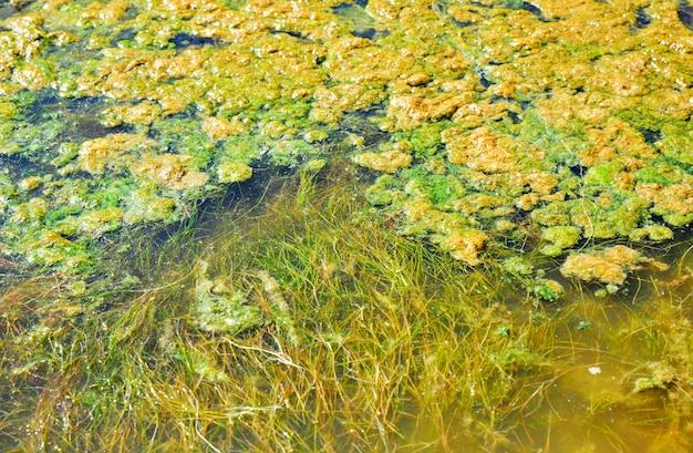 Grüne entengrütze im teich