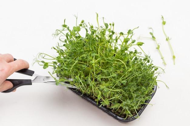 Grüne erbsensprossen in schachtel hand schneidet erbsensprossen mit einer schere