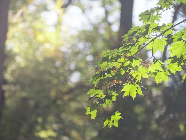 Grüne farbe von ahornblättern im frühjahr des morgens mit nebel