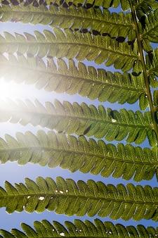 Grüne farnblätter im sonnenlicht, farnpflanze im wald im sommer