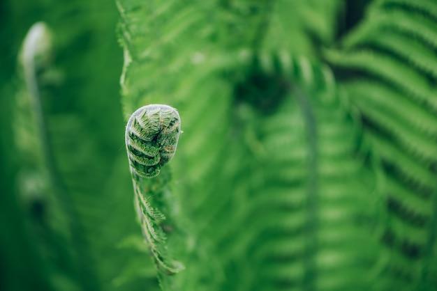 Grüne farne blätter. natürliches laub naturkonzept.