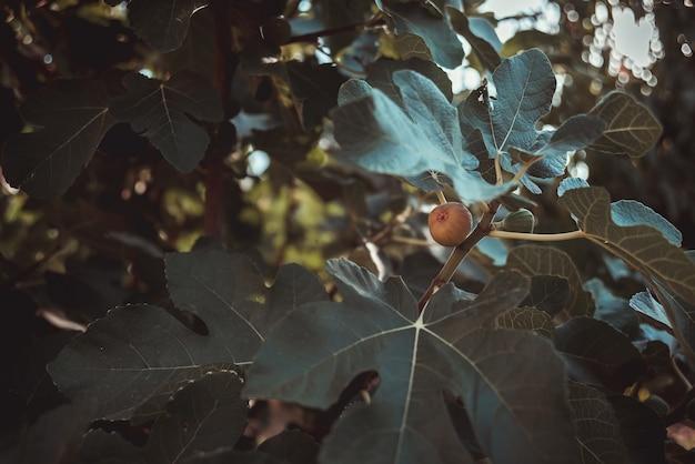 Grüne feigen wachsen unter großen blättern am baum