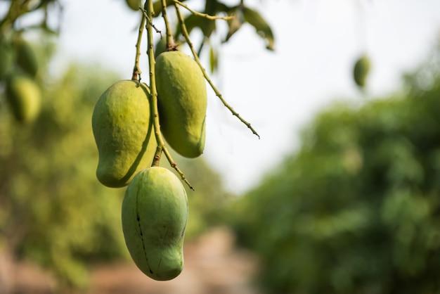 Grüne frische mangos unter baum auf tropischer farm im sommer