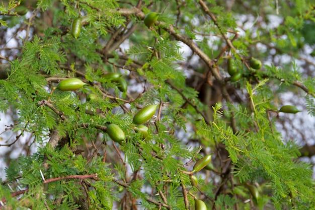 Grüne früchte der akazie im sommer