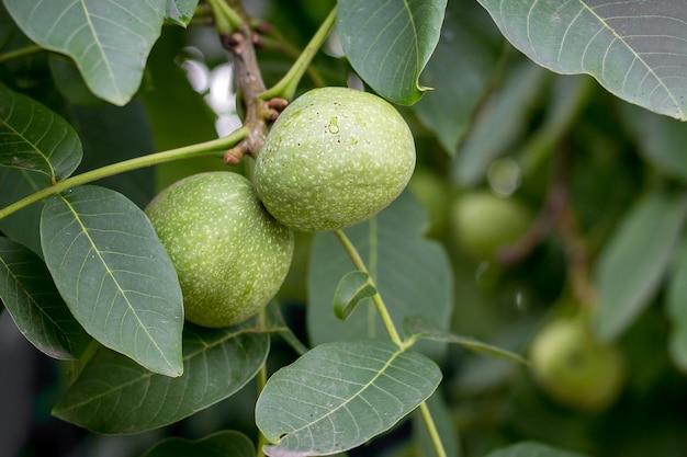 Grüne früchte der walnuss auf einem baum unter grünen blättern