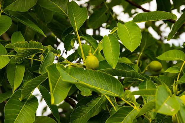 Grüne früchte einer walnuss auf einem baum mit grünen blättern. selektiver fokus.