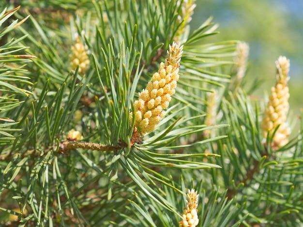 Grüne frühlingsniederlassungen der kiefer, blühen, bestäubung. pollenallergie. nahansicht