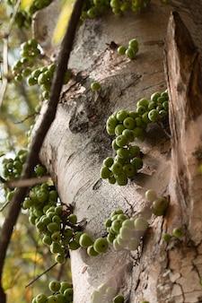 Grüne gemeine feigenfrucht auf anlage