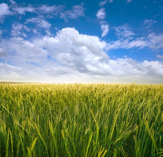 Grüne getreidefelder unter blauem himmel