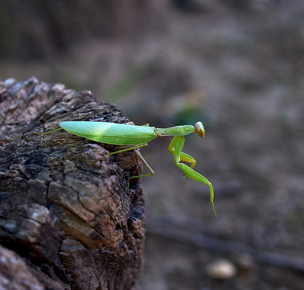 Grüne gottesanbeterin auf einem baumstamm