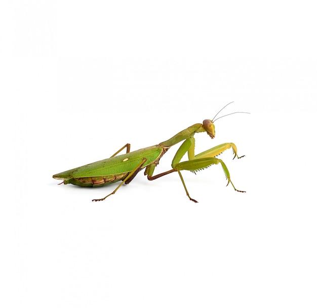Grüne gottesanbeterin mit langen antennen steht seitlich