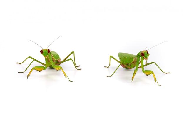 Grüne gottesanbeterin steht auf einem weiß
