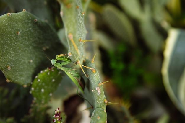 Grüne gottesanbeterin sucht nach beute für einen kaktus