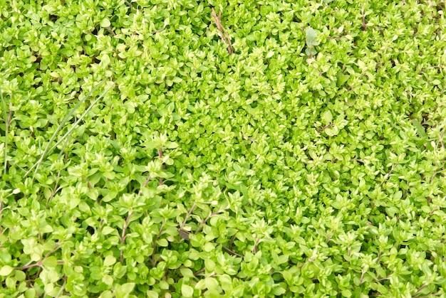 Grüne grasbeschaffenheit kann als hintergrund verwendet werden