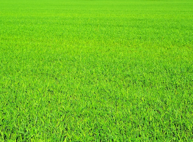 Grüne grasbeschaffenheit von einem feld
