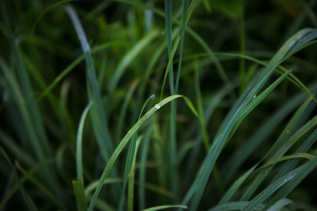 Grüne grasnahaufnahme am frühen morgen mit tautropfen