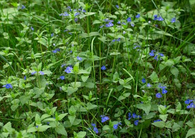 Grüne grasnahaufnahme der wiese mit kleinen bunten blumen. natur-konzept.