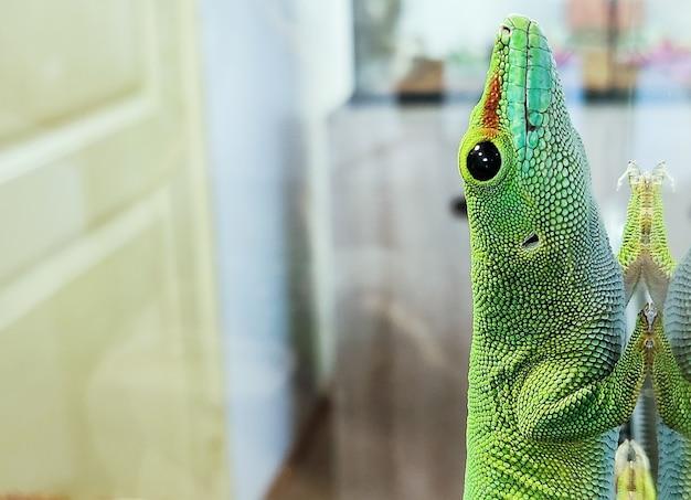 Grüne große eidechse auf glas liegt nahaufnahme sieht aus