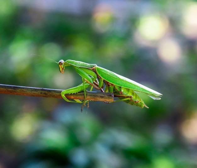 Grüne große gottesanbeterin, die den stock hochkrabbelt