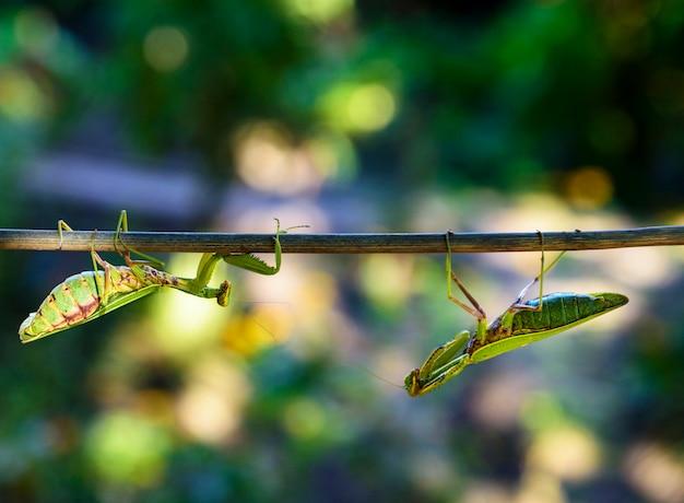 Grüne große gottesanbeterin, die entlang die niederlassung kriecht
