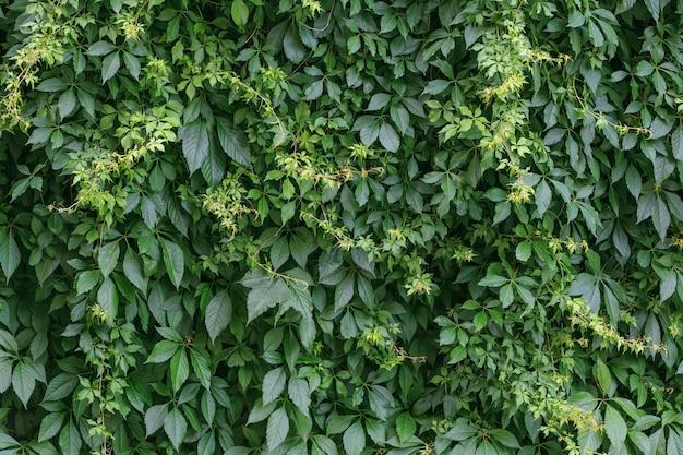 Grüne hecke hintergrund. zaun der kriechpflanzenblätter.