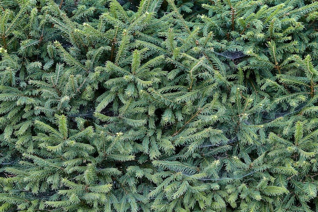 Grüne hecke von jungen tannen, floristische textur.