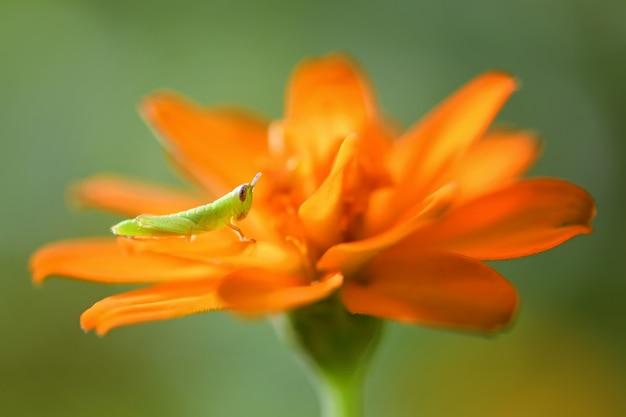 Grüne heuschrecke auf einer orange blume