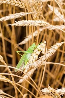 Grüne heuschrecke auf einer spitze