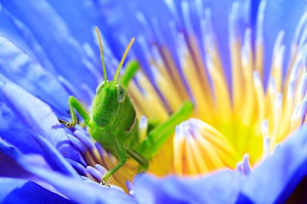 Grüne heuschrecke auf lotus
