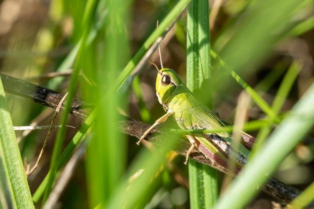 Grüne heuschrecke in der grasnahaufnahme. makrofoto eines insekts